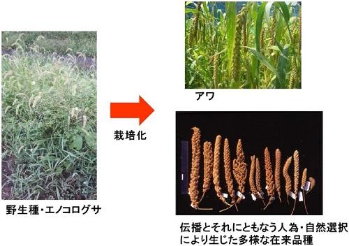 化学と生物 - 日本農芸化学会 - | Vol.55 No.2 | アワの起源と作物進化
